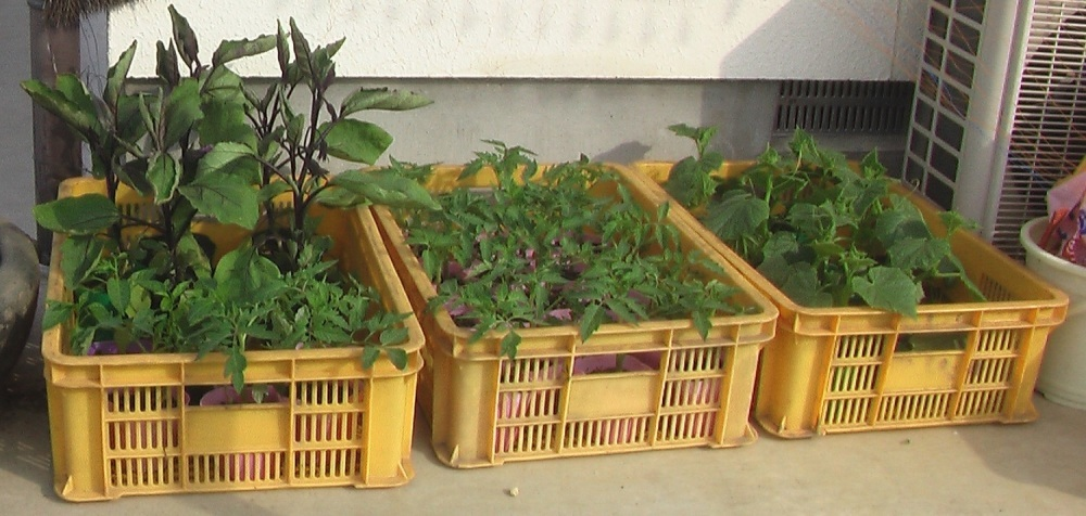 野菜の苗を買ってきた。_c0335218_08242435.jpg