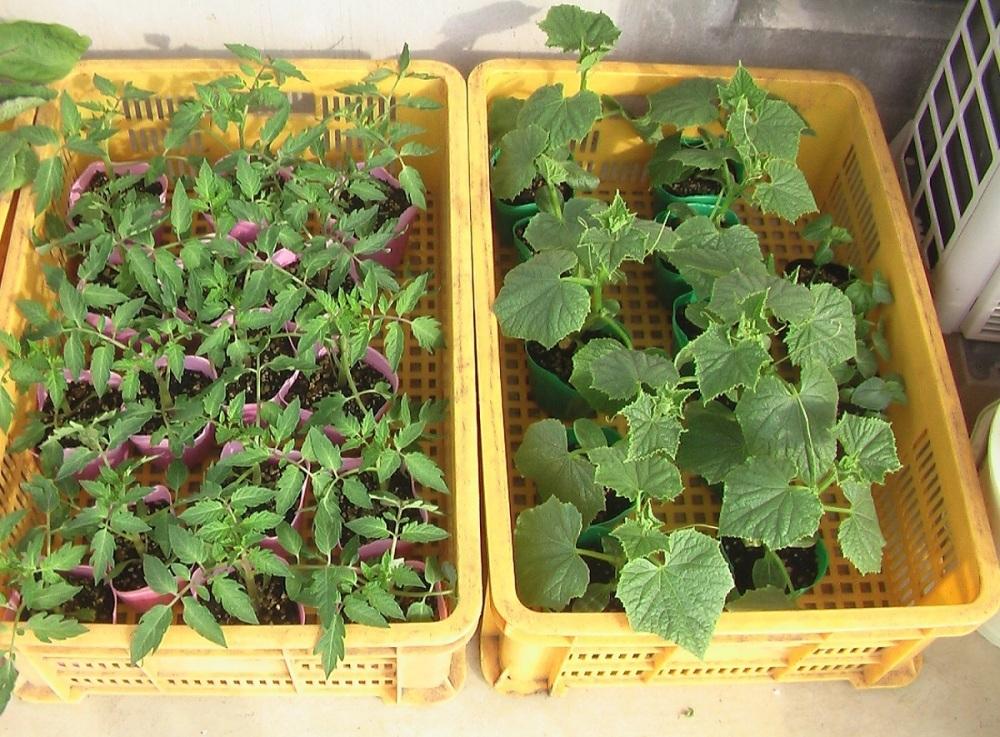 野菜の苗を買ってきた。_c0335218_08245066.jpg