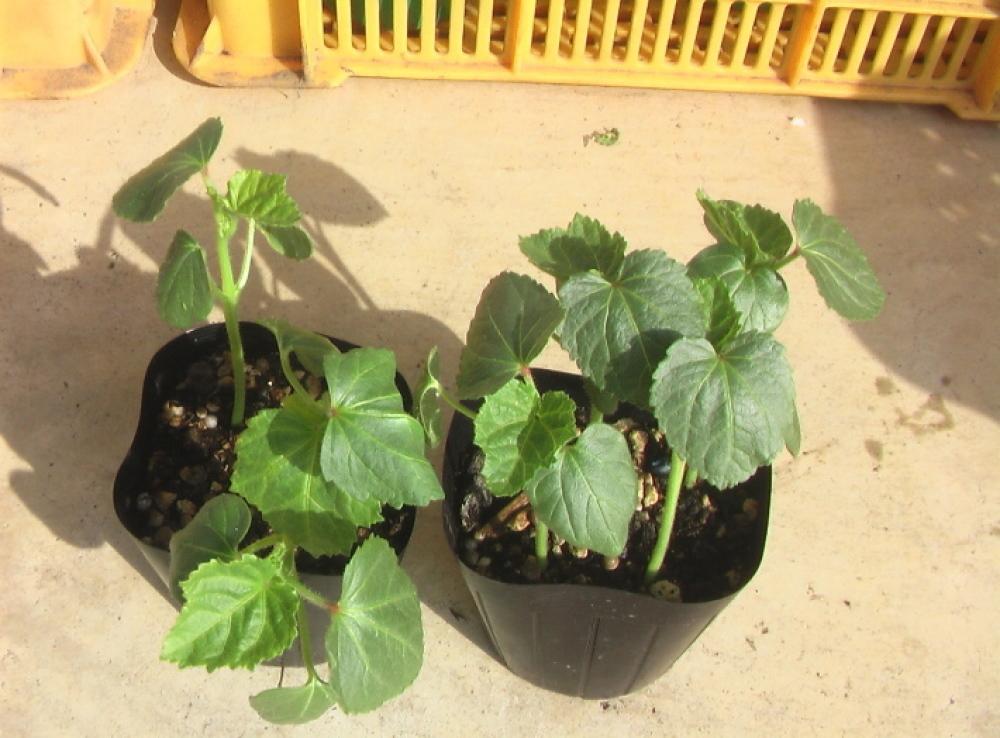野菜の苗を買ってきた。_c0335218_08264159.jpg