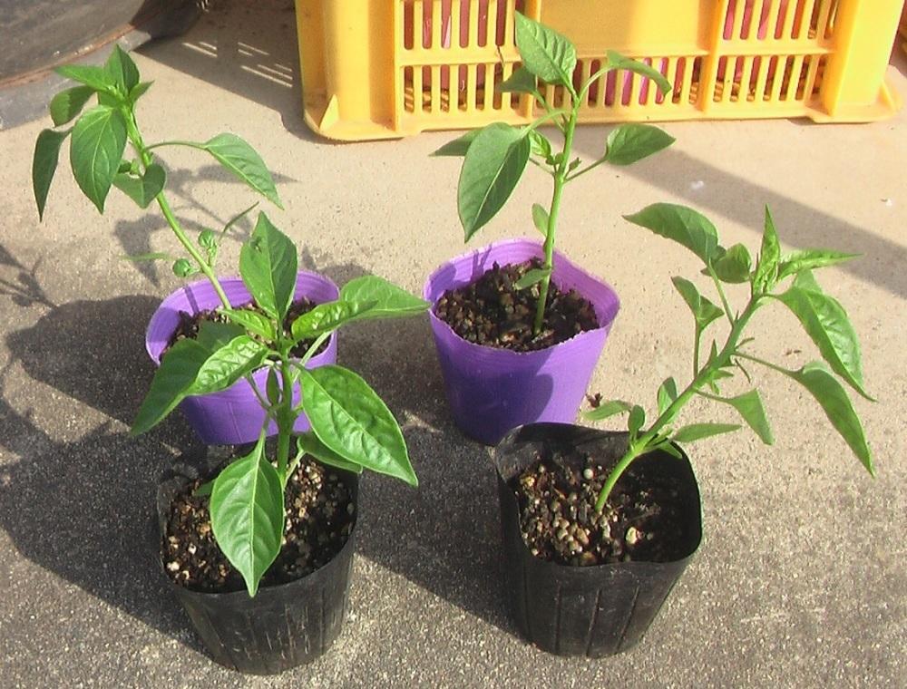 野菜の苗を買ってきた。_c0335218_08481569.jpg