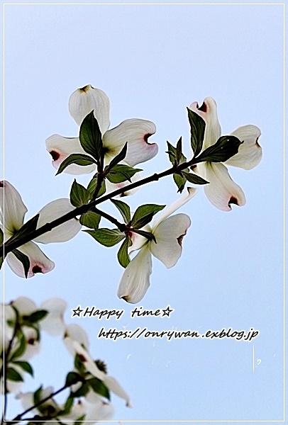 海老と筍の磯部揚げ弁当と花水木♪_f0348032_18143229.jpg
