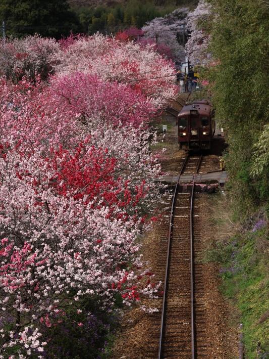 桜 PlayBack ~列車とのコラボ~_b0369971_11035605.jpg