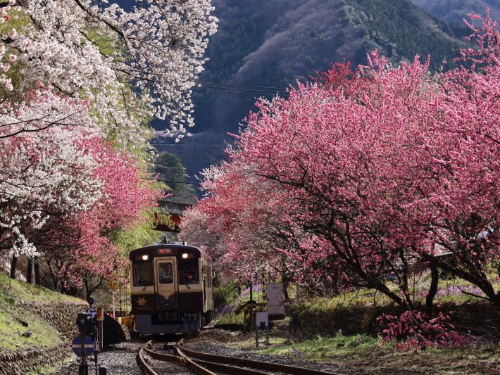 桜 PlayBack ~列車とのコラボ~_b0369971_11041716.jpg