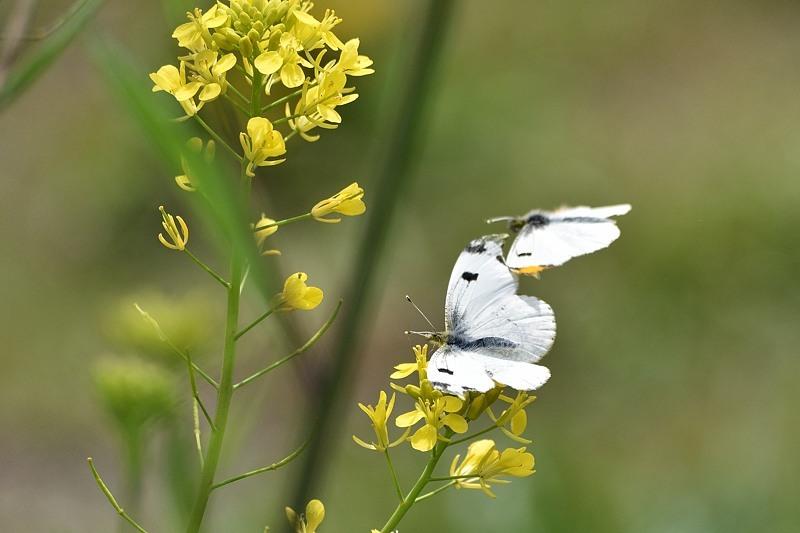 ツマキチョウの産卵とウスバシロチョウの交尾(2020/4/21)_f0031682_14135137.jpg