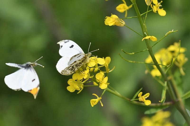 ツマキチョウの産卵とウスバシロチョウの交尾(2020/4/21)_f0031682_14140427.jpg