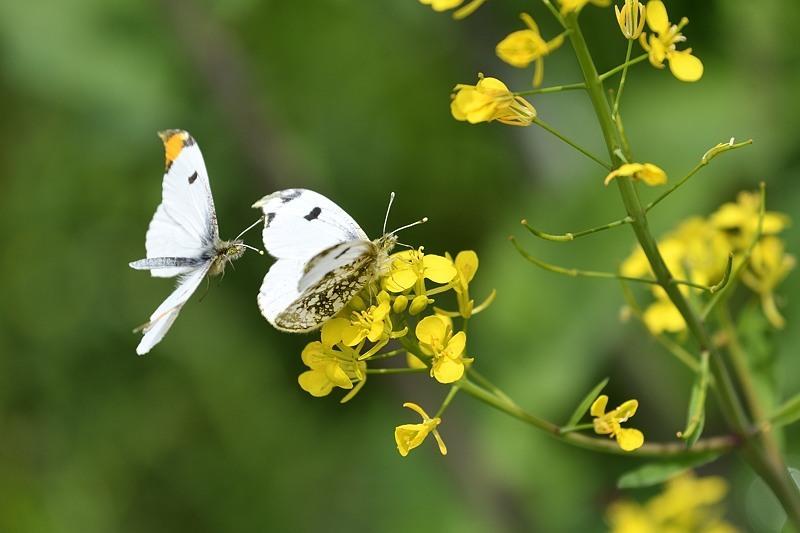 ツマキチョウの産卵とウスバシロチョウの交尾(2020/4/21)_f0031682_14140438.jpg