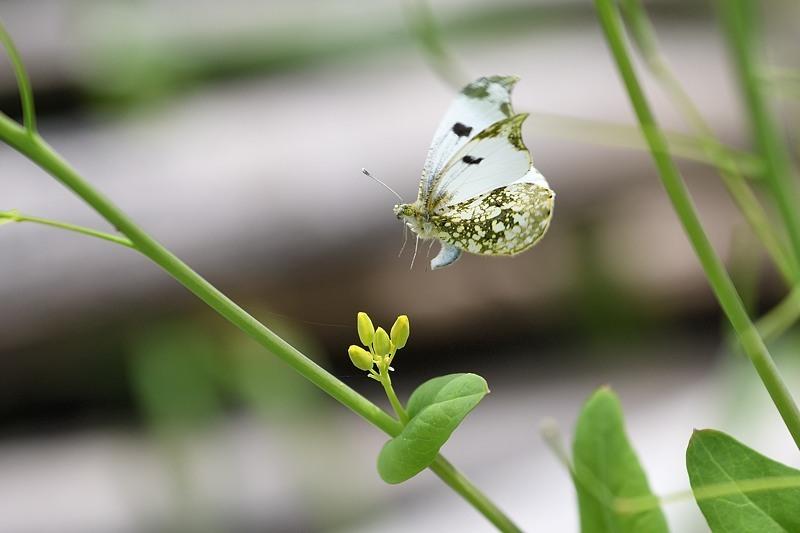 ツマキチョウの産卵とウスバシロチョウの交尾(2020/4/21)_f0031682_14140487.jpg