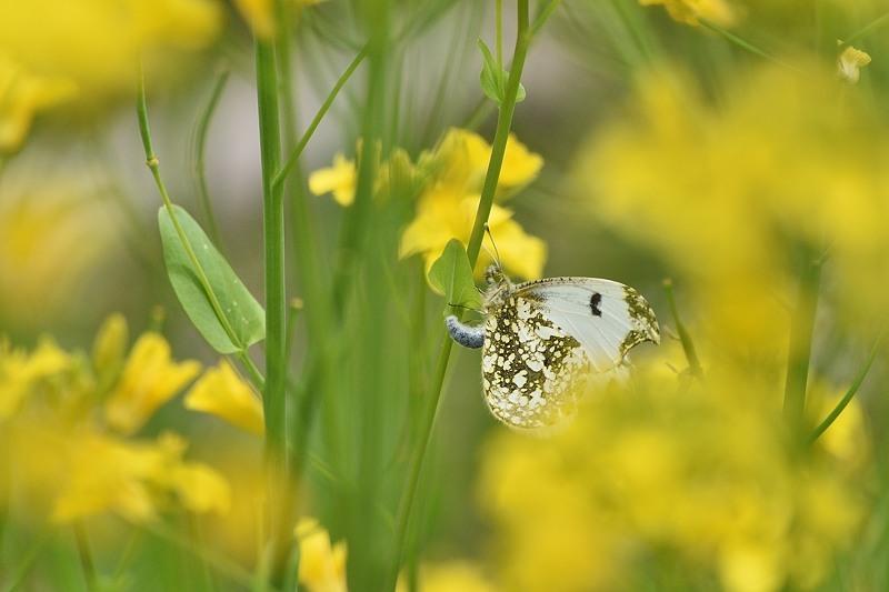 ツマキチョウの産卵とウスバシロチョウの交尾(2020/4/21)_f0031682_14141165.jpg