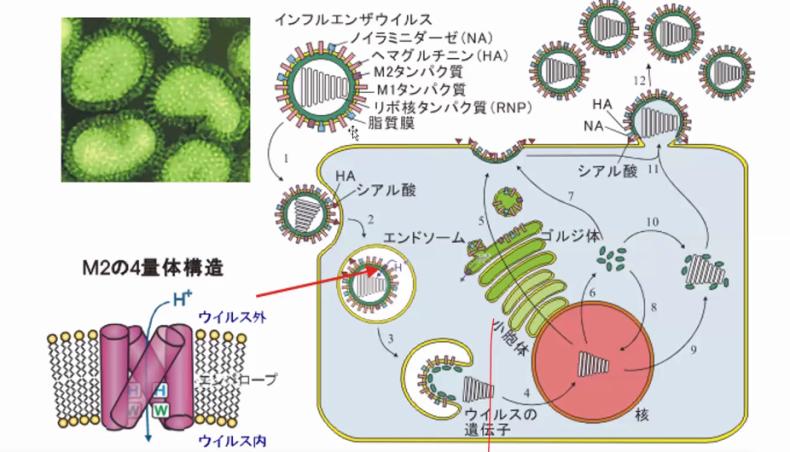 ウイルスはアルカリ性の身体の中では増殖できない_c0125114_10203054.png