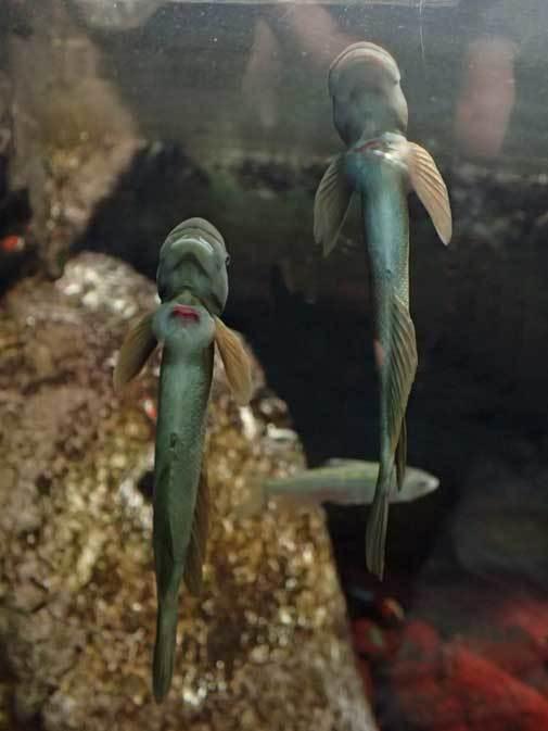 カミツキガメ「ショウゾウ」とボウズハゼの吸盤(井の頭自然文化園 May 2019)_b0355317_13065598.jpg