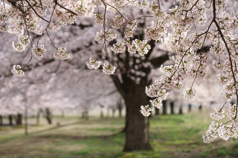 桜樹_e0169421_16470828.jpg