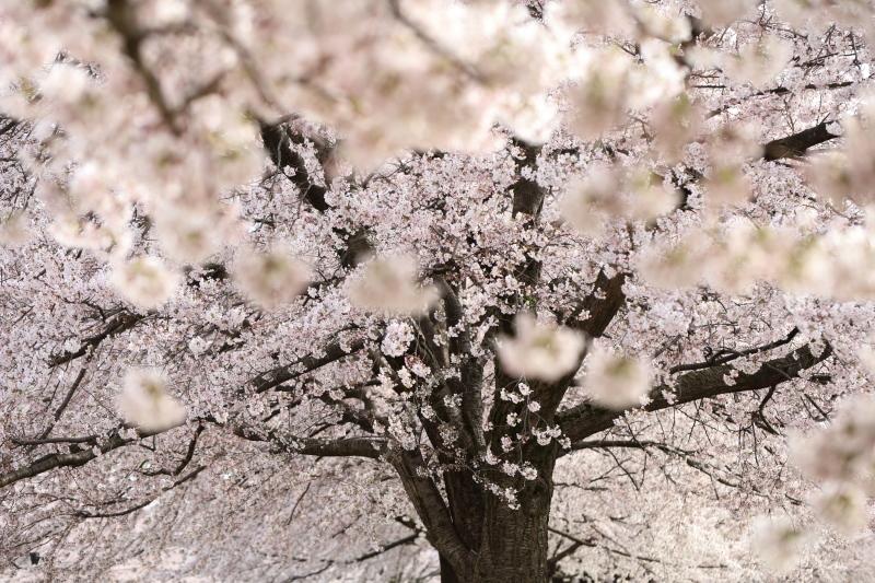 桜樹_e0169421_16470866.jpg