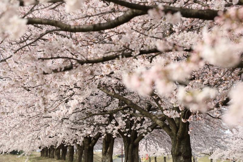 桜樹_e0169421_16470942.jpg