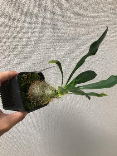 Anthorrhiza chrysacantha購入と板付け_e0212855_19431700.jpg