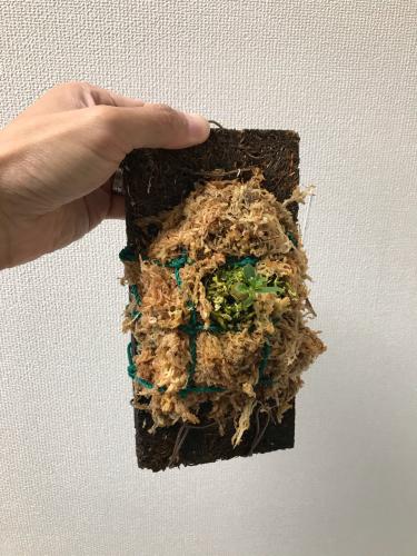 Anthorrhiza chrysacantha購入と板付け_e0212855_21173911.jpg