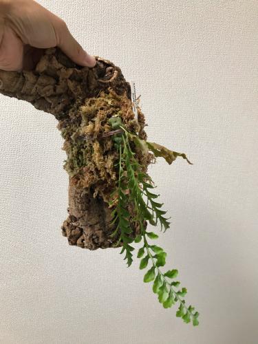 Anthorrhiza chrysacantha購入と板付け_e0212855_21180620.jpg