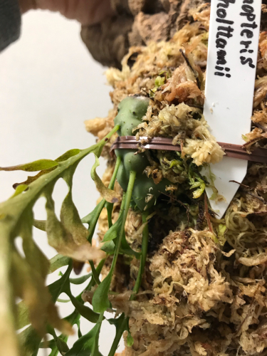 Anthorrhiza chrysacantha購入と板付け_e0212855_21181308.jpg