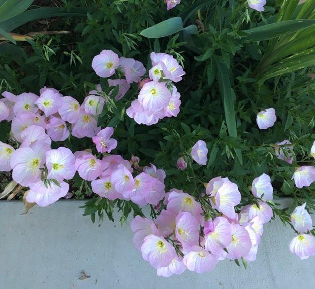 初夏の花咲く庭ーフォックスグローブ、スイートピー、アイリスなどなど_e0350971_23261279.jpg