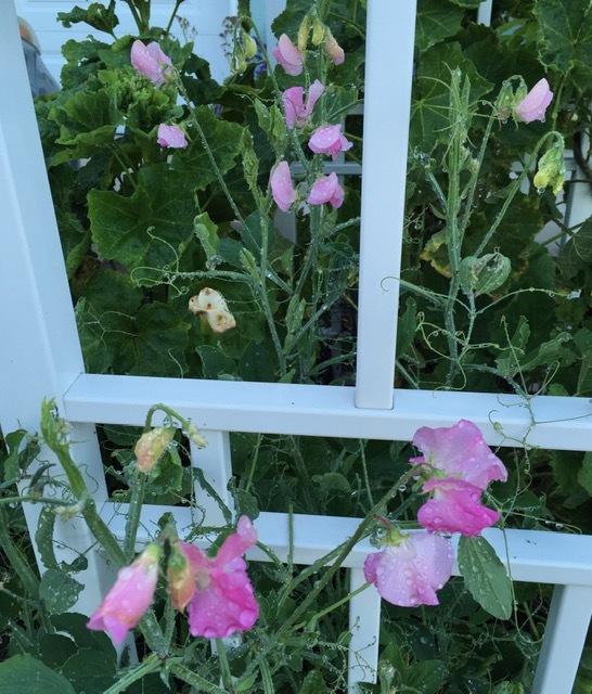 初夏の花咲く庭ーフォックスグローブ、スイートピー、アイリスなどなど_e0350971_23263175.jpg