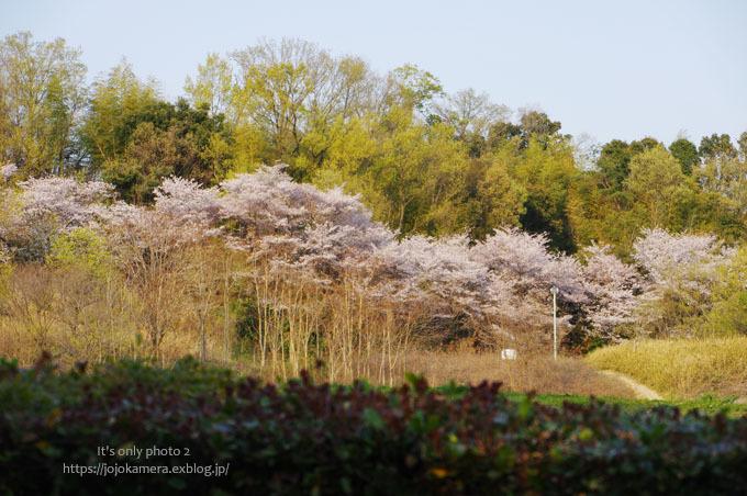 公園の桜_b0391986_19061497.jpg
