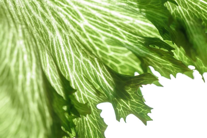 Lettuce_f0189086_22135593.jpg