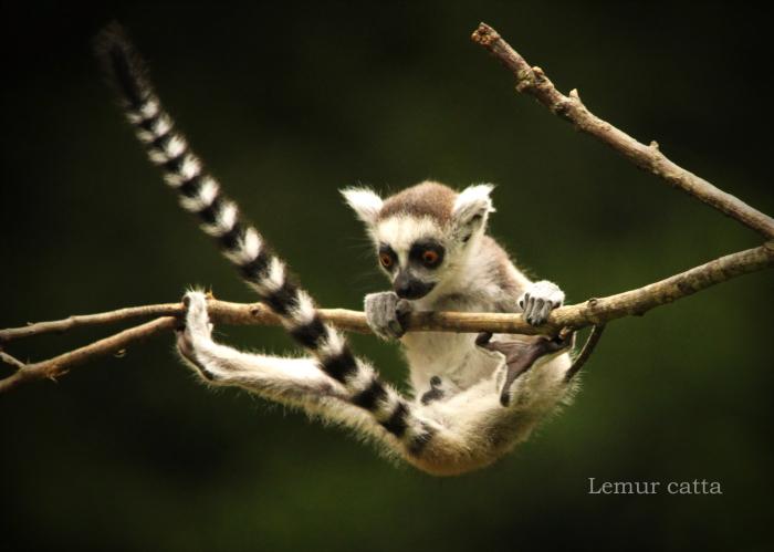ワオキツネザル:Ring-tailed Lemur_b0249597_06033329.jpg