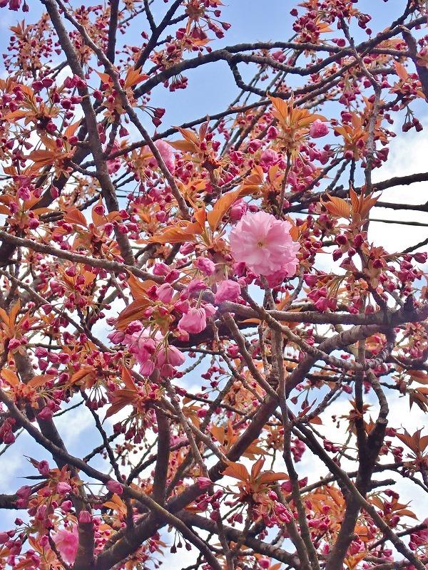 """28日 会館周辺を\""""春散歩\""""です_c0336902_20562949.jpg"""