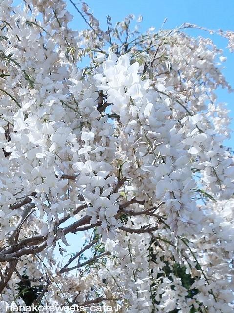 白い花*白藤_d0147030_20343351.jpg