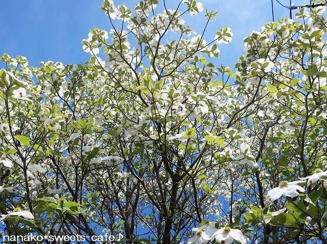 白い花*白藤_d0147030_20344566.jpg
