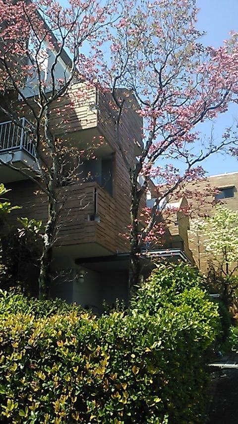 桜の後、はなみずきの番_b0096638_16104097.jpg
