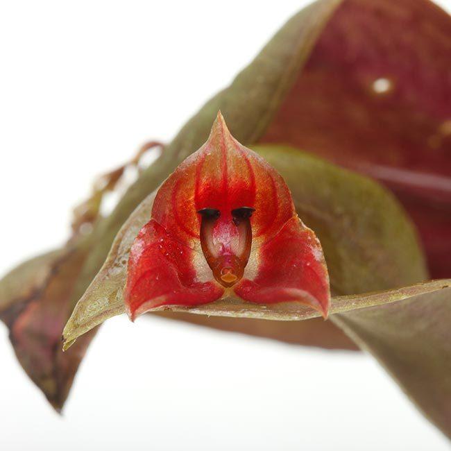 New arrival plants   新掲載植物 レパンテス、トリセテラなどの小型着性蘭を少々、、。_d0376039_16563102.jpg