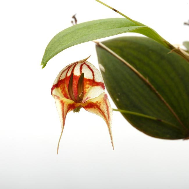 New arrival plants   新掲載植物 レパンテス、トリセテラなどの小型着性蘭を少々、、。_d0376039_16591313.jpg