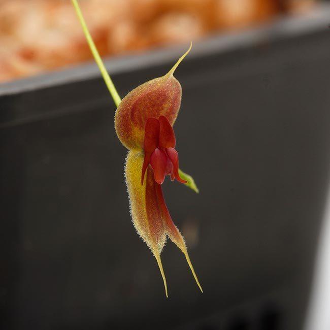 New arrival plants   新掲載植物 レパンテス、トリセテラなどの小型着性蘭を少々、、。_d0376039_17045195.jpg