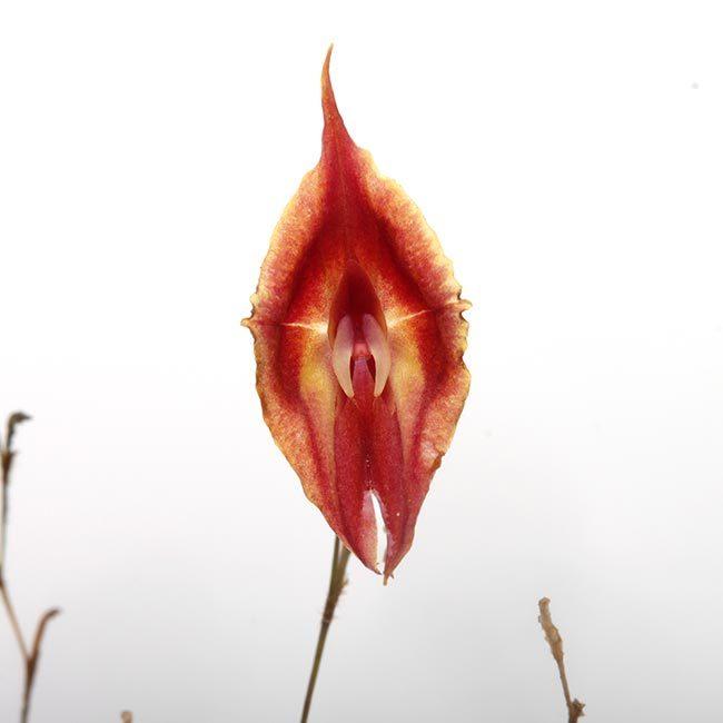 New arrival plants   新掲載植物 レパンテス、トリセテラなどの小型着性蘭を少々、、。_d0376039_17071663.jpg