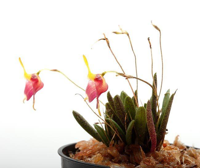New arrival plants   新掲載植物 レパンテス、トリセテラなどの小型着性蘭を少々、、。_d0376039_17104606.jpg