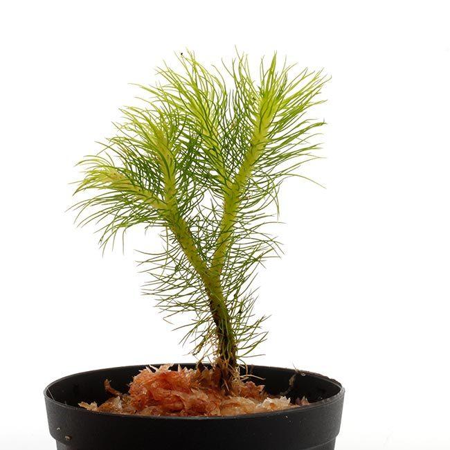 New arrival plants   新掲載植物 レパンテス、トリセテラなどの小型着性蘭を少々、、。_d0376039_17144761.jpg