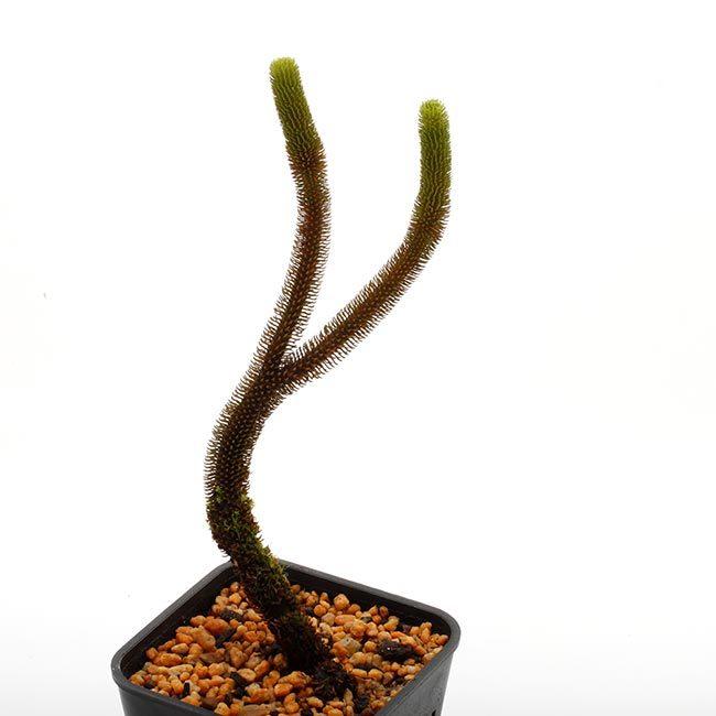 New arrival plants   新掲載植物 レパンテス、トリセテラなどの小型着性蘭を少々、、。_d0376039_17204266.jpg