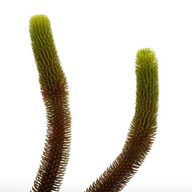 New arrival plants   新掲載植物 レパンテス、トリセテラなどの小型着性蘭を少々、、。_d0376039_17205038.jpg