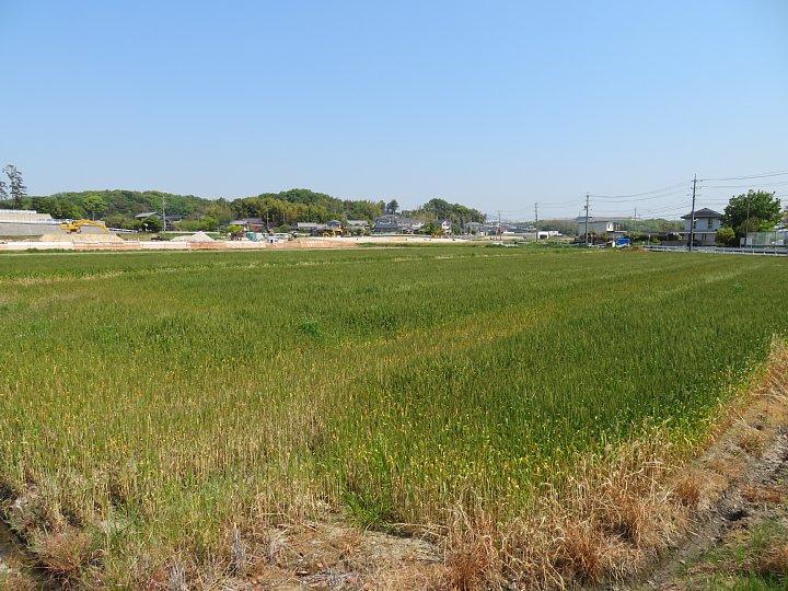 2020年5月6日 麦畑の色が変わってきました !(^^)!_b0341140_1942754.jpg