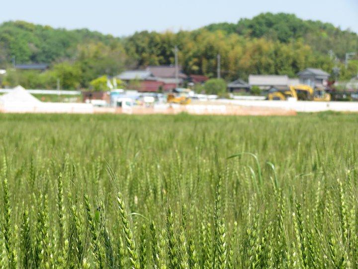 2020年5月6日 麦畑の色が変わってきました !(^^)!_b0341140_19447100.jpg