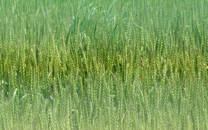2020年5月6日 麦畑の色が変わってきました !(^^)!_b0341140_195122.jpg