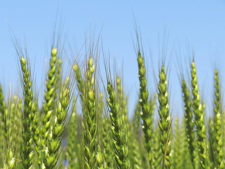 2020年5月6日 麦畑の色が変わってきました !(^^)!_b0341140_19608.jpg