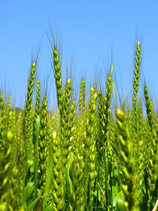 2020年5月6日 麦畑の色が変わってきました !(^^)!_b0341140_1961180.jpg
