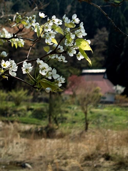 下針畑、サクラとヤマナシ・・・オクヤマガーデン_d0005250_1845127.jpg