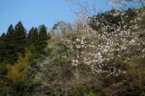 下針畑、サクラとヤマナシ・・・オクヤマガーデン_d0005250_18455858.jpg