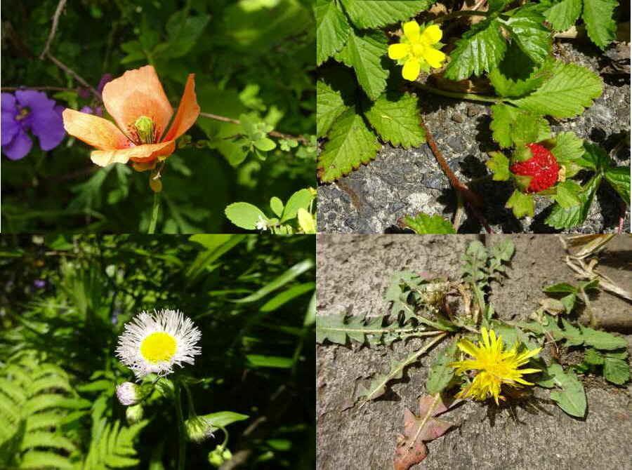 庭の花 春その8(雑草2)_f0059673_00160737.jpg