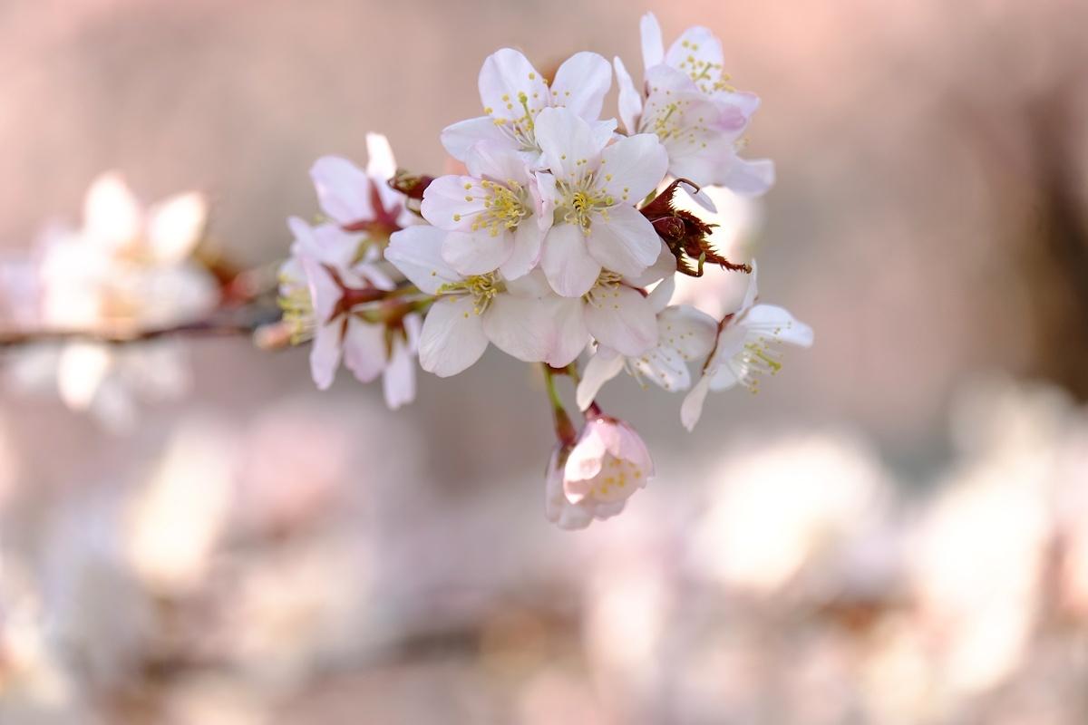 桜四月散歩道_e0051186_17314219.jpg