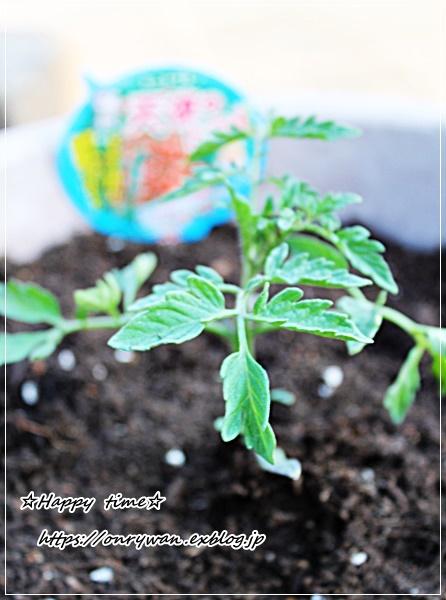 鯛めし弁当と天使のトマトの苗♪_f0348032_16480679.jpg