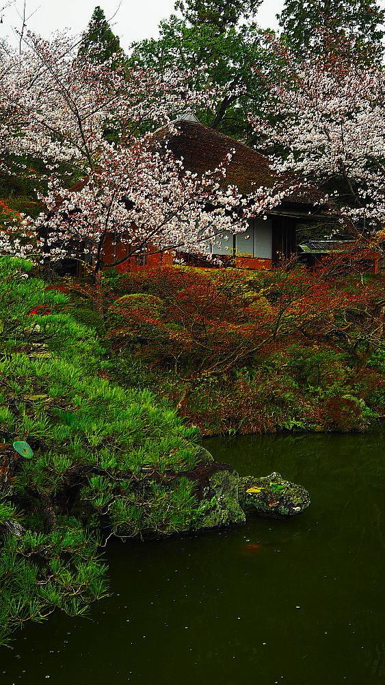 京都 ユキヤナギと桜と庭園_a0287533_23021100.jpg