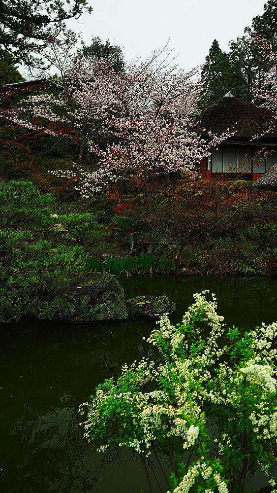 京都 ユキヤナギと桜と庭園_a0287533_23021171.jpg